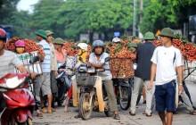 Thương lái Trung Quốc ngừng thu mua, vải Lục Ngạn rớt giá
