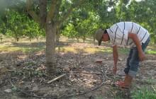 Tưới nước cho xoài theo công nghệ Israel: Tiết kiệm đến từng giọt