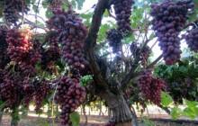 Việt Nam nhập khẩu trở lại 3 loại trái cây của Australia