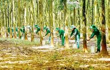 Việt Nam sẽ tham gia Hội đồng Cao su quốc tế 3 bên