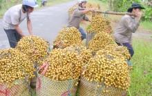 Liên kết sản xuất, tiêu thụ trái cây vùng ĐBSCL